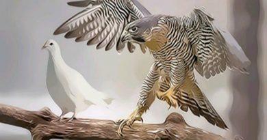 """""""Cosa de halcones y palomas"""""""