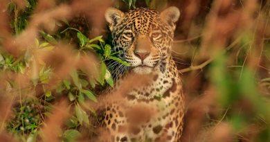Buscan sacar al yaguareté de la lista de especies en riesgo de extinción en el Chaco