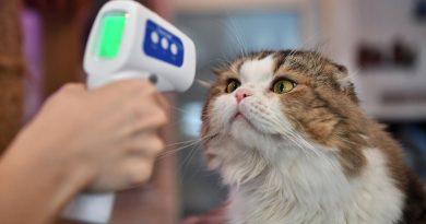Otro gato se contagió de coronavirus y ya hay científicos que hablan de vacunar a las mascotas